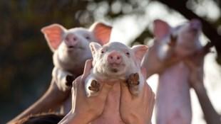 整晚追垃圾車要廚餘!「養豬也要養得出類拔萃」遊子返鄉養豬,負債6百萬