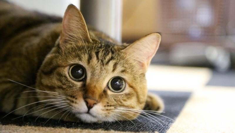 「貓咪」拯救了日本經濟?!一年6800億經濟效益,日本商界:用對貓咪,一定能獲利