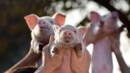 人行寬鬆選項受限?中國豬肉價格飆、