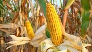 美國農產品出口增加 大平原北部玉米